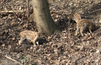 Młode dziki szukające pożywienia