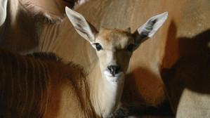 Małe elandy w gdańskim zoo