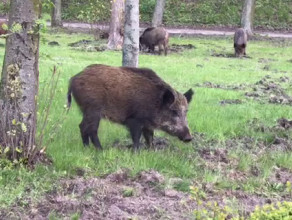 Dziki w Sopocie na Haffnera