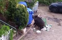 Dzik walczy ze śmietnikiem w Sopocie