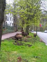 Spacer dzików w Sopocie