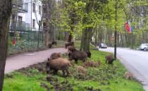 Spacer dzików przy Armii Krajowej w Sopocie