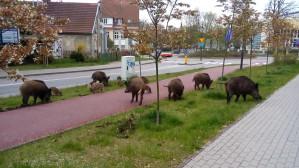 Dziki na Armii Krajowej w Sopocie