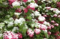Śnieżny poranek 10 maja w Trojmieście