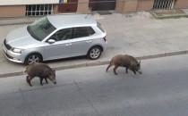 Dziki spacerują po Gdyni