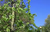 Sadzenie lip w Parku Steffensa
