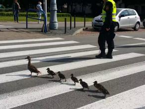 Zagubione kaczki w centrum Gdańska