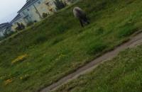 Dziki na Płockiej