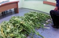Policja zlikwidowała plantację marihuany
