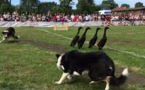 Pokaz zagarniania kaczek na zawodach...