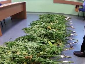 Zlikwidowano plantację marihuany na hałdzie w Wiślince