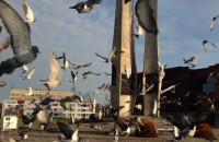 700 gołębi pocztowych na obchody Sierpnia '80