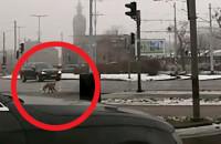 Lis biega po centrum Gdańska