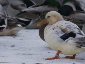 Co robi ptasi sołtys na bulwarze w Gdyni?