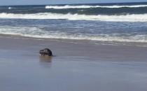 Boberek chodził na po plaży na Wyspie...