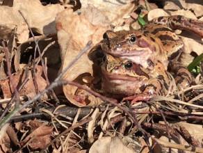 Przyszła wiosna - rozpoczęty sezon godowy żab