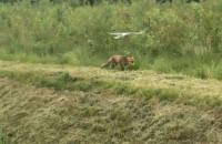 Mewa atakuje lisa przy jeziorku na Jasieniu