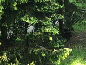 Dziki szorują o drzewa w Sopocie