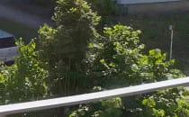 Rój os  w drzewie Gdynia Dąbrowa