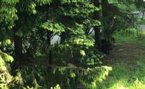 Dziki szorują grzbiety o drzewa