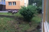 Dziki na osiedlu w VII Dworze