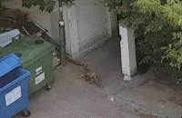 Lis buszuje w śmietniku na Chełmie