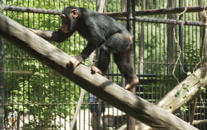Publiczne karmienie szympansów w ZOO