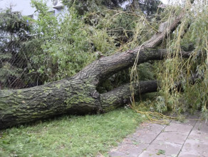Powalone drzewo przy ul. Biegańskiego na Chełmie
