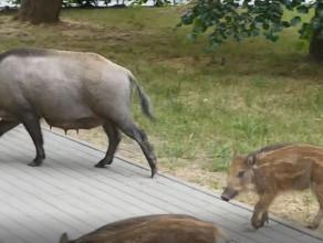 Dziki zawładnęły dzielnicą VII Dwór