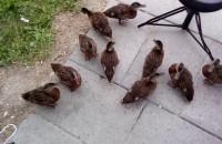 Dzikie kaczki w ogrodzie we Wrzeszczu