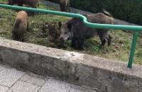 Dziki w Chyloni