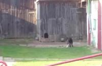 Pies zakłóca spokój w Gdyni
