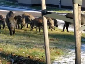 Rodzinka dzików w biały dzień wyskoczyła coś przekąsić na mieście