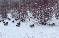 Kaczki na zimowym spacerze
