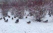 Kaczki na spacerze po Witominie