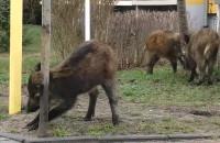 Gdyńskie dziki - niedzielny spacer