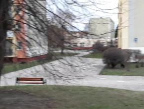 Dziki na Pustkach Cisowskich hasają w dzień
