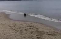 Bóbr na plaży