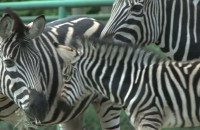 Narodziny zebry w gdańskim ZOO