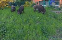 3 dziczki znów odwiedziły ul. Malczewskiego