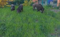 3 osierocone dziczki znów odwiedziły...