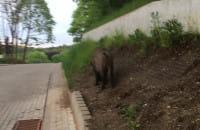 Dziki w Sopocie