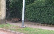 Dziki na ulicy Abrahama - chwilę po 20 ;)