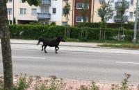 Koń samopas biega po ulicy