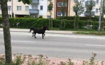 Gdynia Wiczlino: koń samopas biega po ulicy