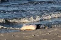Martwa foka na plaży w Jelitkowie