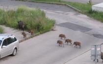 Dziki na spacerze, ulica Morska przy...