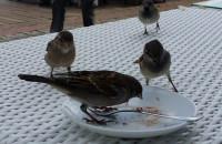Ptaki wyjadają resztki z talerza