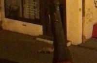 Lis przy ul. Szerokiej