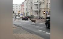 Jeleń przy manhattanie